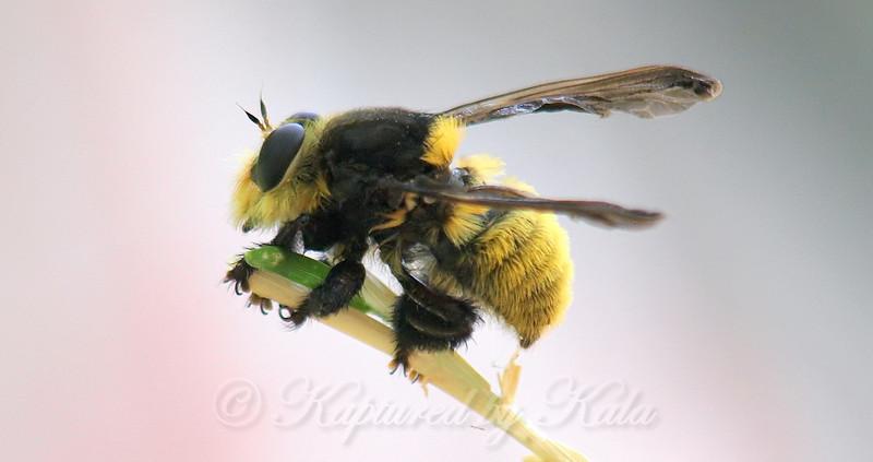 Bee Killer Robber Fly