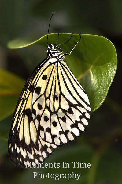 Paperkite curled leaf v