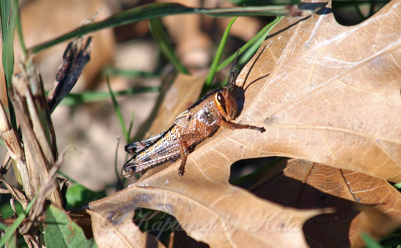 American Bird Grasshopper Nymph