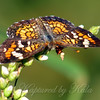 My First Phaon Crescent
