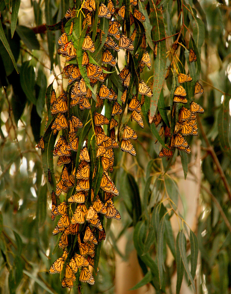 Monarchs Monarch Beach CA