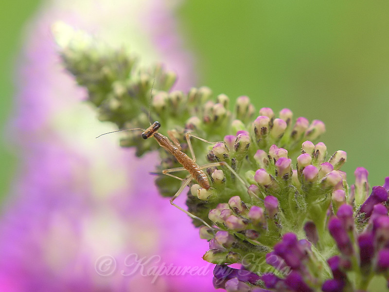 Baby Mantis On Butterfly Bush View 2