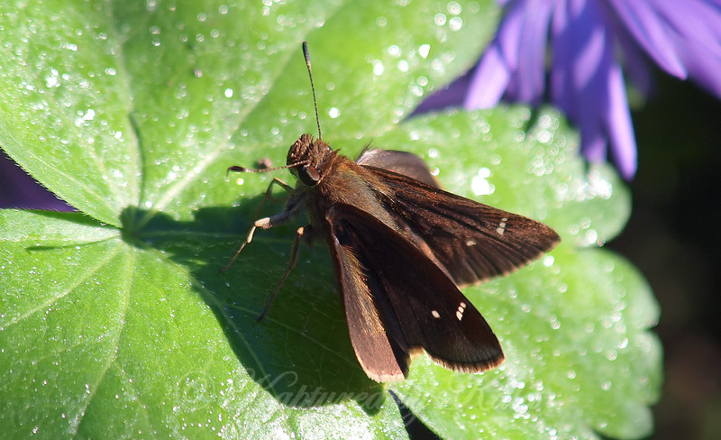 Clouded Skipper At The Heard