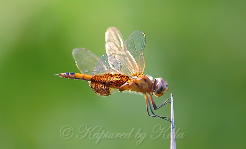 Young Male Red Saddlebags