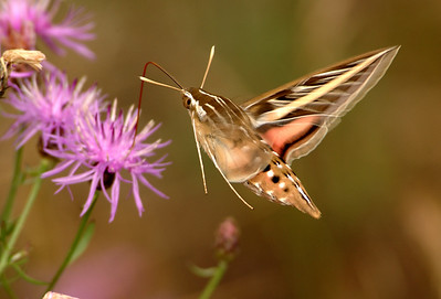 White Lined Sphinx Moth - Michigan's Upper Peninsula - 2003