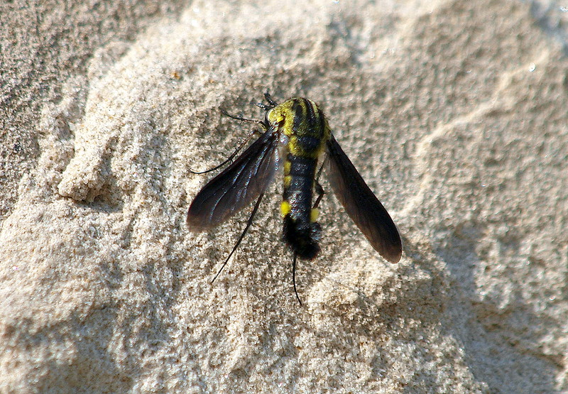 Scaly Bee Fly View 1