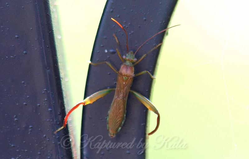 Texas Bow-legged Bug