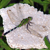 Eastern Pondhawk On Styrofoam