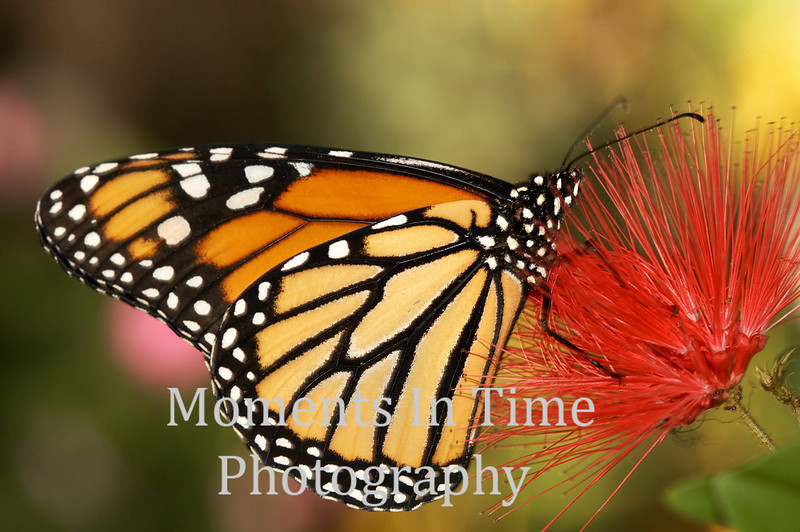 Brilliant monarch on puff