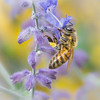 Honey bee and Russian Sage