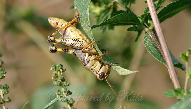 Ponderous Spur-throat Grasshopper