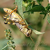 Ponderous Spur-throat Grasshopper
