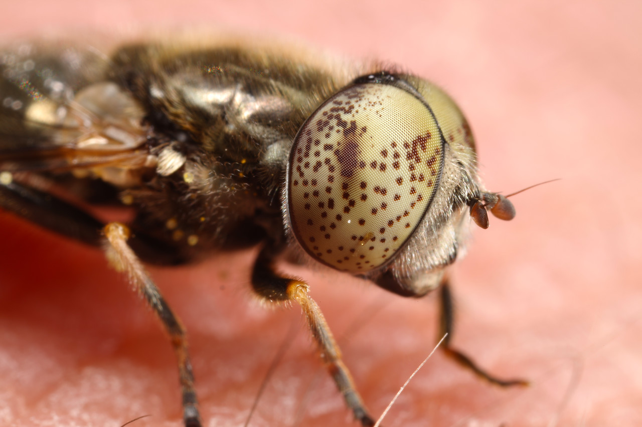Hoverfly With Spotted Eyes