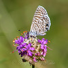 Marine Blue Butterfly On Purple Prairie Clover