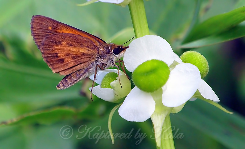 Broad-winged Skipper On Indian Potato Plant