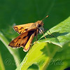 Fiery Skipper In The Sunshine