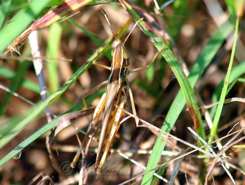 Male Admirable Grasshopper