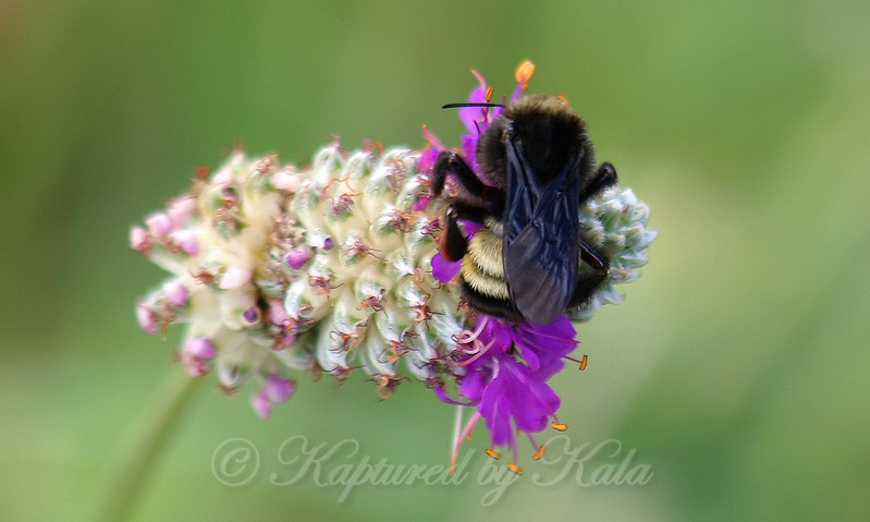 Back View Of An American Bumble Bee