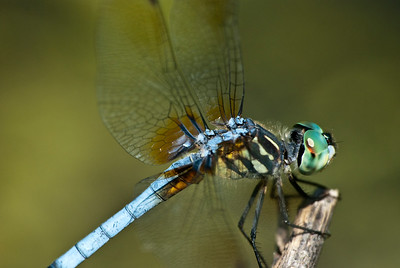 A blue dasher dragonfly sits on a twig in a wetland in eastern Nebraska.   Sp. Pachydiplax longipennis