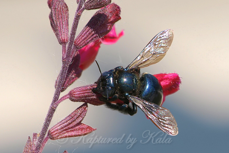 Female Southern Carpenter Bee