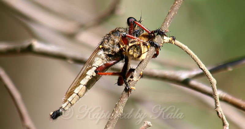 Giant Robber Fly Snacking On A Bee