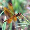 Amberwing In The Grass