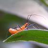Baby Assassin Bug