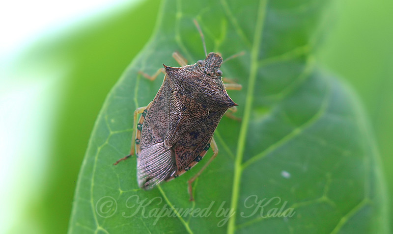 Spined Soldier Bug