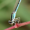 Head Shot Of The Female Familiar Bluet