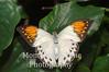 Giant orange tip butterfly