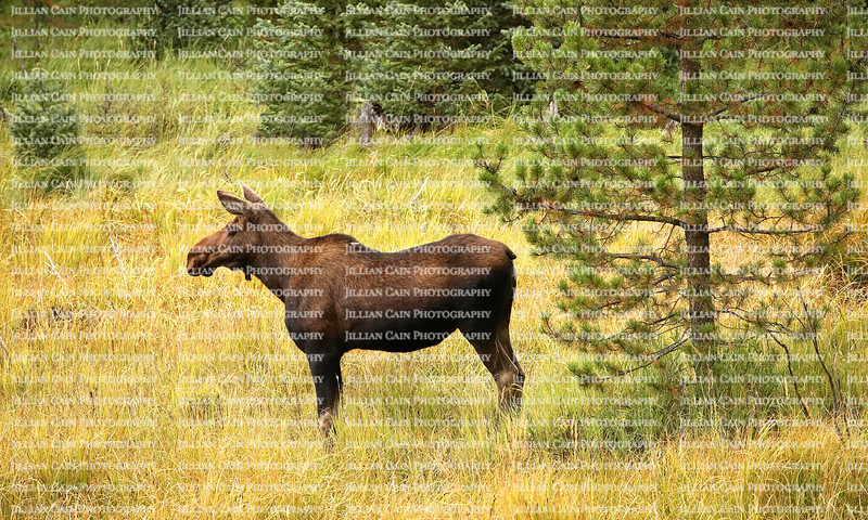Profile view of a female moose, also known as a cow, standing in the Rocky Mountains, the moose is the largest and heaviest extant species in the Deer family.