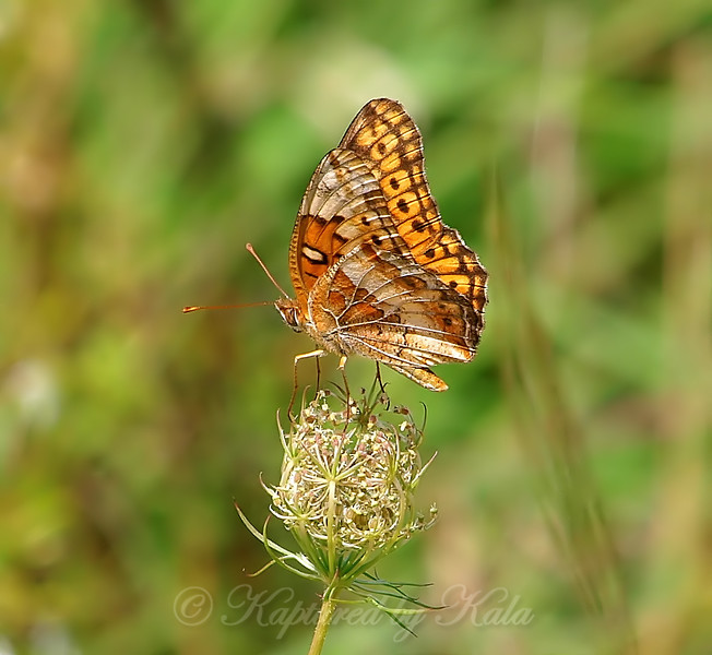 Variegated Fritillary In Sunlight