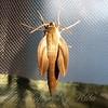 Newly Emerged Moth