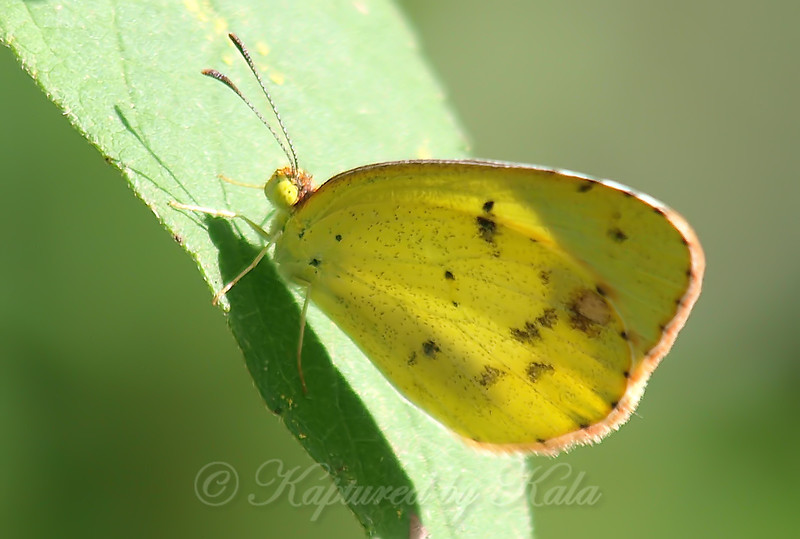 Pretty Little Yellow Butterfly