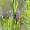 Two-striped Mermiria