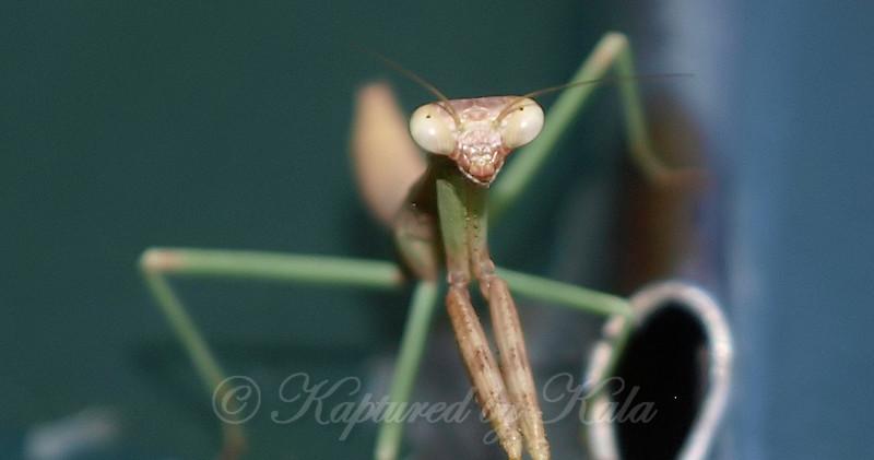 Mantis Rolling Its Eyes At Me