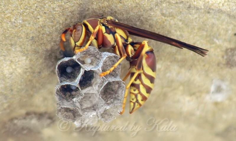 Wasp Mama & Babies