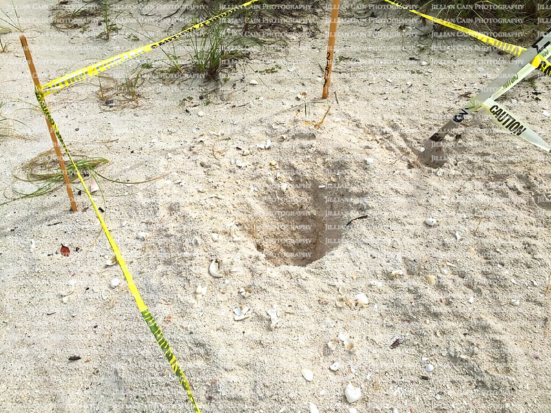 Turtles eggs ravaged and devoured by raccoons on a Florida beach