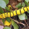 cloudless sulphur caterpillar walking on leaves