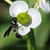 Side View  Of the Variegated Mason Wasp