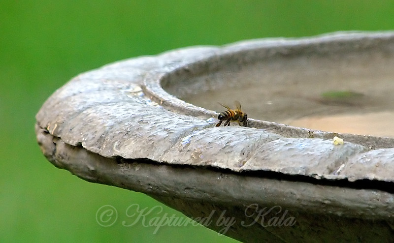 Honey Bee Getting A Drink