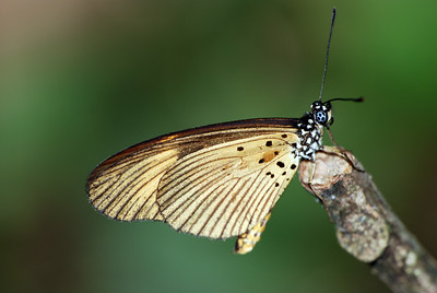 A butterfly rests on the end of a twig on Mount Adaklu in eastern Ghana. Unknown species.