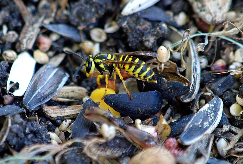 Full Profile View Of The Southern Yellowjacket
