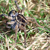 Female Wolf Spider Carrying Egg Sac