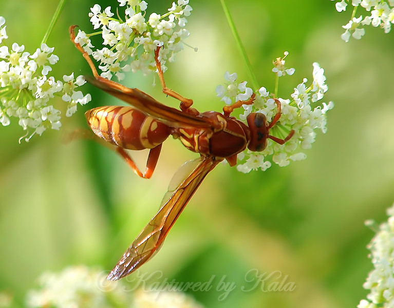 Red And Yellow Paper Wasp View 2