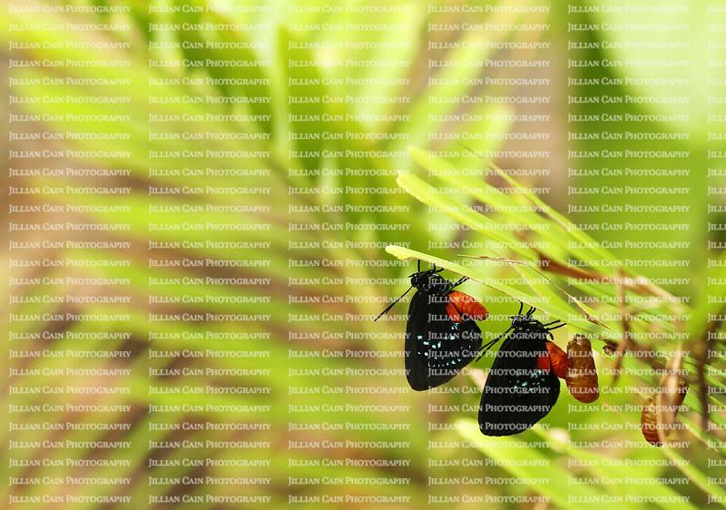 Atala butterflies emerging from their chrysalis