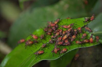 Boisea trivittata - Box elder bug