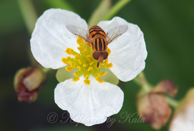 New Kind Of Hoverfly