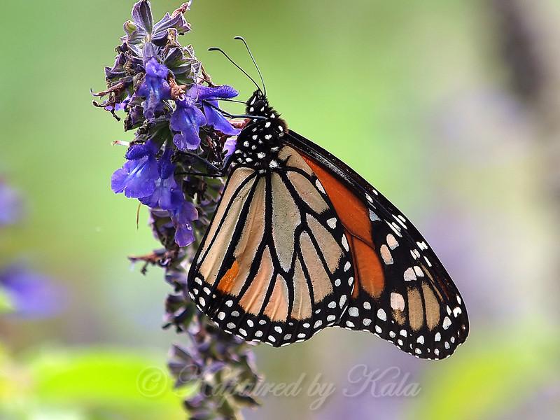 Migrating Monarch at the Arboretum