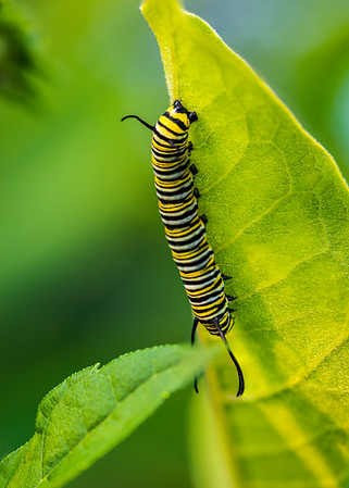 Monarch Caterpillar, Danaus plexippus